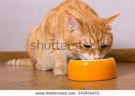 Red cat and bowl of dry food on the wooden floor