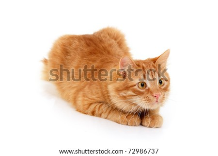 red cat attention lying down isolated on white background