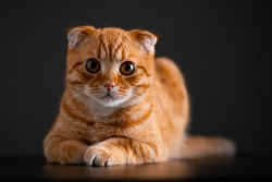 red cat breed Scottish fold on a dark background