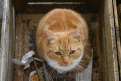 Red cat in a wooden crate. A cut red and white strippend cat sitting content in a wooden box, looking directly in the camera.