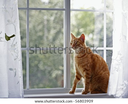 Red cat in front of the window