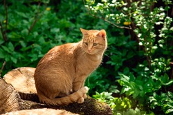 Red cat in the village. The cat is basking in the sun. The animal is sitting on wood, against a background of green grass.