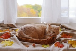 Red cat is in wicker basket among foliage in front of the window on the background of autumn landscape.