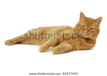 Red cat is resting on a white background looking into the camera