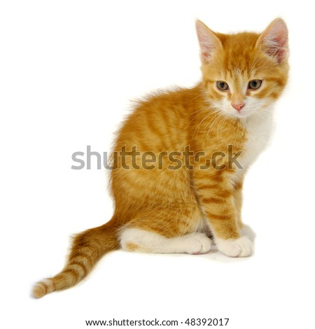 Red cat kitten is sitting on a white background