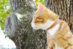 Red cat leash climbs a tree while walking in the woods