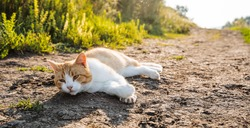 red cat lies on the crest of the sun. village cat meets the morning lying on the road. lazy cat looks at me