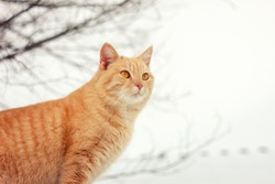 Red cat lies paws in the snow in winter. red cat in winter. Cat shows emotions . happy animal .Red cat to go outdoors in the winter.