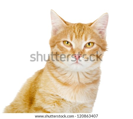 red cat looking at camera. isolated on white background
