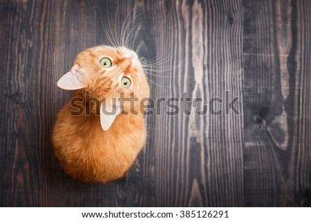 Red cat looking up sitting on the wooden background