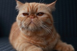 red cat on a black armchair. Breed Exotic Shorthair