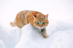 Red cat on snow background
