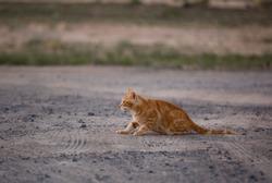 Red cat portrait. Red cat eyes. Domestic red cat Filya