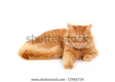 red cat resting isolated on white background