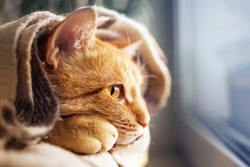 Red cat resting on the windowsill and wrapped in a warm blanket, looks out the window, close-up, soft selective focus