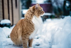 red cat sitting in winter on snow