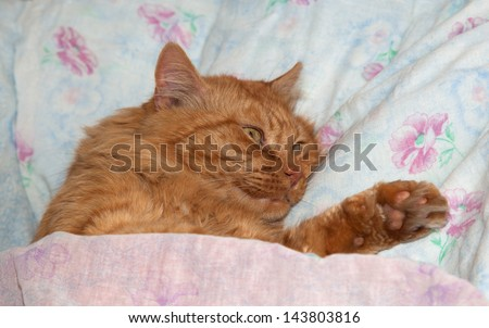 Red cat sleeping in a crib, a man on a bed having covered with a blanket