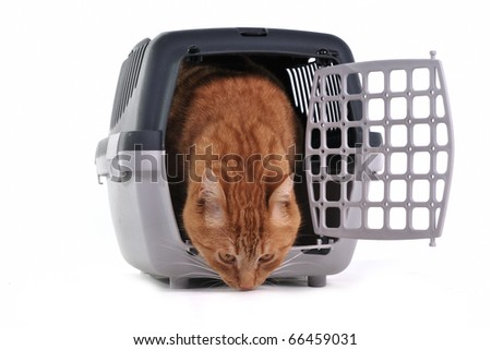 Red cat sniffing cautiously its new place sitting in pet carrier   isolated on white background