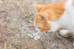red cat sniffs cherry blossom