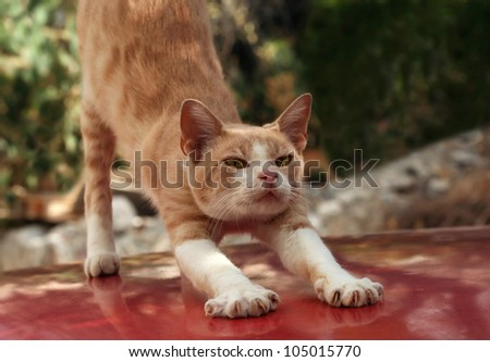 Red cat stretching himself
