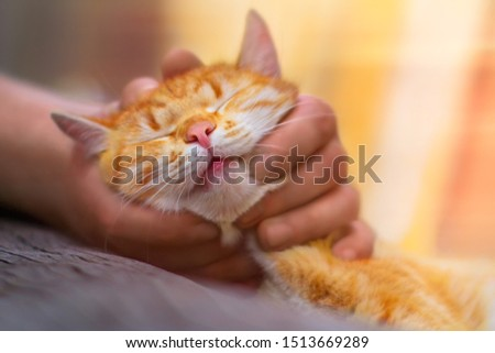 Red cat stroking male hands. Man grabs ginger pet head and strokes his fingers behind ears