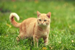Red cat walking on the grass in summer