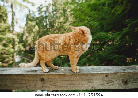red cat walks on a bridge over a mountain river on a railing, a sketchy plan, a beautiful cat #1111751594