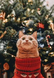 Red cat with big eyes in a red festive sweater sits near a tree and poses for the photographer. Waiting for a miracle. The image can be used as a postcard, on a t-shirt, as a cover for a book and more
