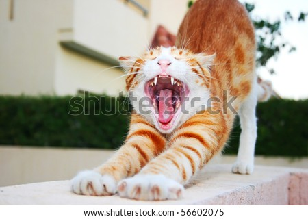 Red cat with opened mouth.