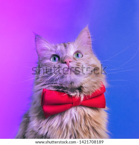 Red cat with pink bowtie front view. Gentleman-like fluffy domestic animal on neon background. Adorable feline pet looking upwards with magenta accessory on blue backdrop. Cute curious kitty #1421708189