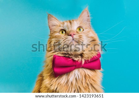 Red cat with pink bowtie front view. Gentleman-like fluffy domestic animal on turquoise background. Adorable feline pet looking upwards with magenta accessory on blue backdrop. Cute curious kitty #1423193651