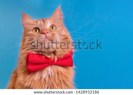 Red cat with pink bowtie front view. Gentleman-like fluffy domestic animal on turquoise background. Adorable feline pet looking upwards with magenta accessory on blue backdrop. Cute curious kitty #1428932186