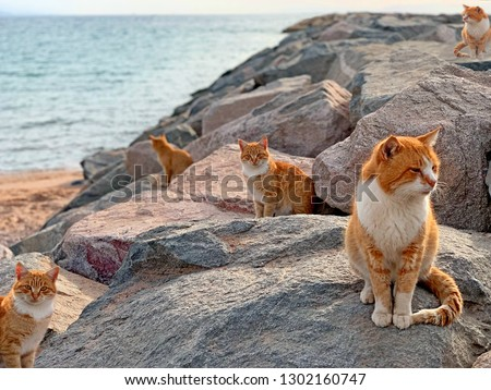 Red cats on sea beach in Japan island. Group stray ginger cats on blue sea rocks background. Cute red cat sitting on sea island beach. Many wild feral animals relax on island beach, sunset landscape