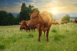 Red cattle of the Harz, Germany (Harzer Rotvieh). Red cattle breed typical in the Harz mountains.