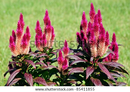 Red celosia flowers, or woolflowers, on green background