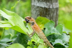 Red Chameleon or Garden lizards, Scientific name (Calotes versicolor) eating insect with blurry green forest foreground and background:Close up,select focus with shallow depth of field.