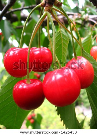 Red cherries in the tree with leaves