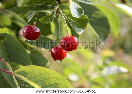 Red cherries on a tree with water drops