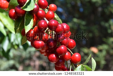 Red cherries on cherry tree in orchard for picking. Close-up on ripe cherry fruits on a tree branch, ready for picking. Bunch cluster of ripe red cherries and green leaves on cherry tree.