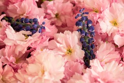 Red cherry blossom with two grape hyacinth