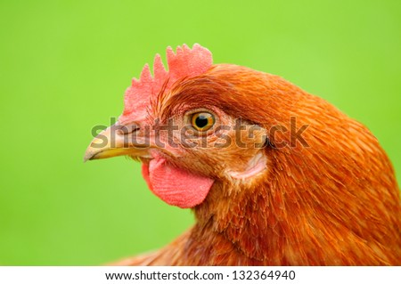 Red Chicken in Profile on Bright Green Background