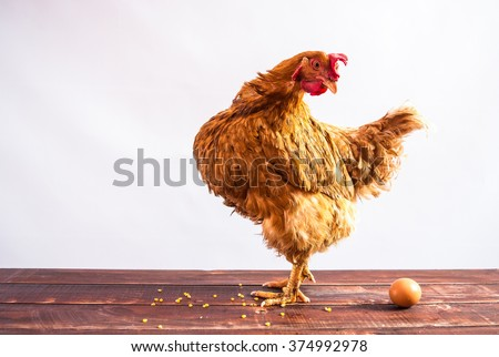 Red chicken standing on wooden background and turned at egg. White background.