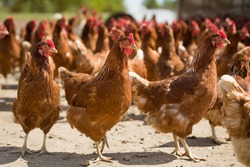 Red chickens on a farm in nature. Hens in a free range farm. Chickens walking in the farm yard