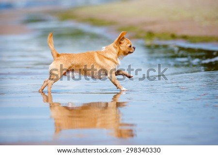 red chihuahua dog running on the beach