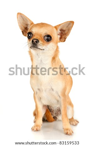 Red chihuahua sitting and looking isolated on white background