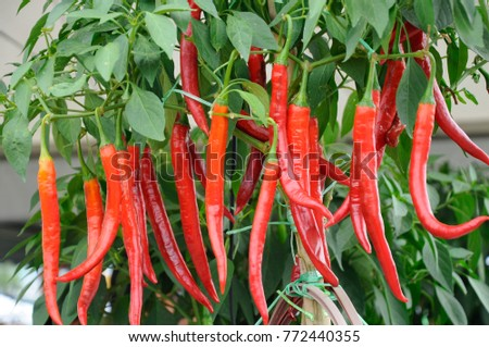 Red chilies grown in pots  #772440355