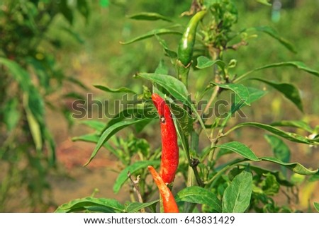 red chilli fruit #643831429