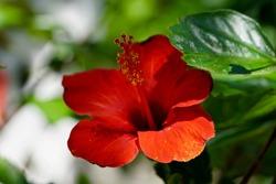 Red Chinese Hibiscus, China rose, Hawaiian hibiscus, rose mallow and shoeblackplant