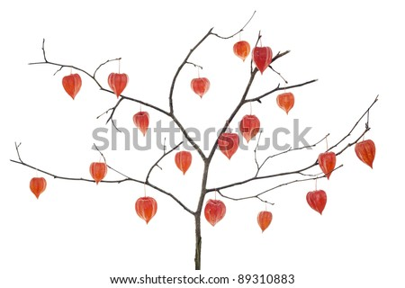 Red  Chinese Lanterns  (Red Hearts) flowers  on tree branches-  Red Hearts Tree concept. Isolated