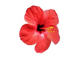 Red Chinese Rose flower (Hibiscus rosa-sinensis) on white background.
